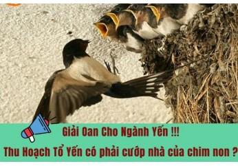 giải độc thông tin sai lệch về thu hoạch lấy tổ chim yến